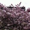 造幣局 桜の通り抜け 今年はいつ?