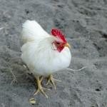 鳥インフルエンザは人間に感染するの?